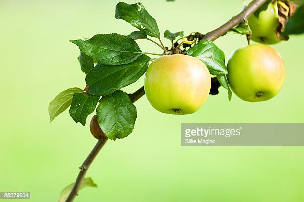 Apples growing on branch of tree, close-up