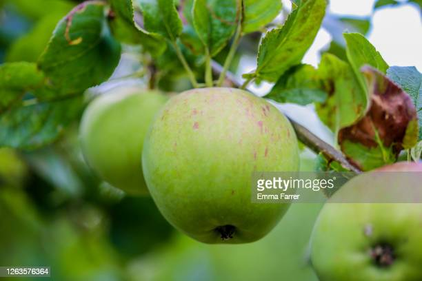 apples growing on tree - apple tree stock pictures, royalty-free photos & images