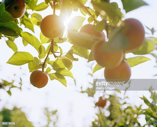 Apples Hanging From Branches With Sunlight
