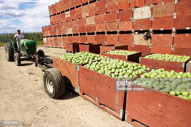 apples in crates - migrant worker stock pictures, royalty-free photos & images