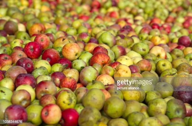 Apples lay in the apple juice factory Skottki in Buckow Germany 25 September 2013 The small family business crafts fruit juices swince 28 years...