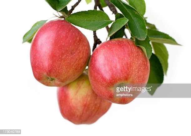 apples on a branch - appelboom stockfoto's en -beelden