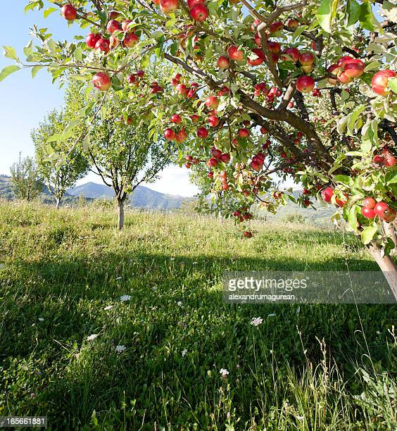 apples on branch - orchard stockfoto's en -beelden