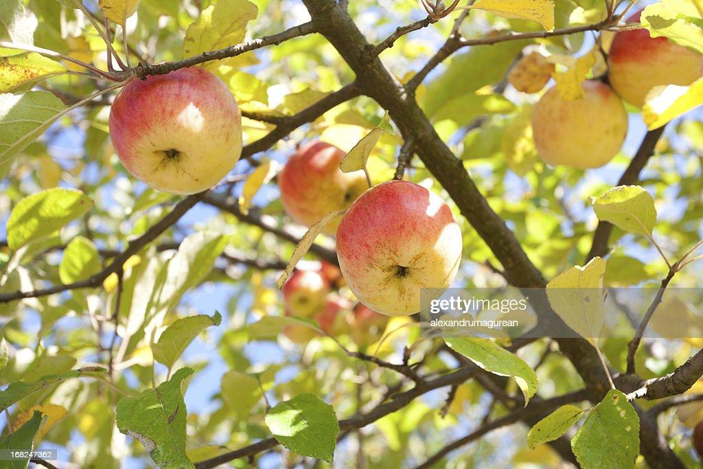リンゴのブランチ : ストックフォト