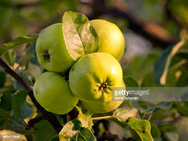 apples on the tree - bernd schunack fotografías e imágenes de stock