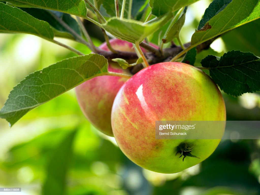 Apples on the Tree : Stock Photo
