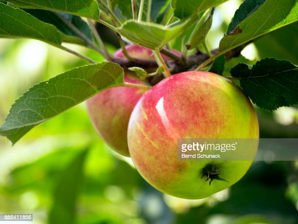 apples on the tree - bernd schunack stock pictures, royalty-free photos & images