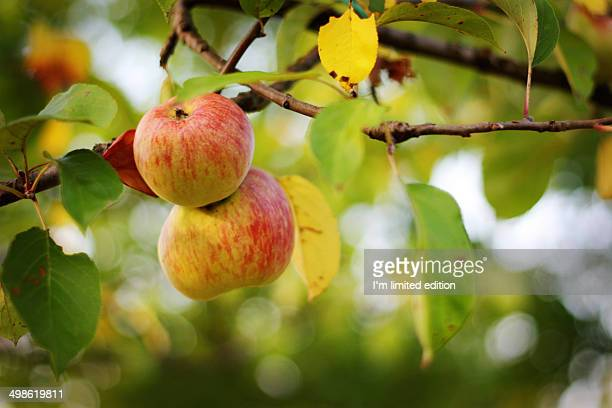 Apples on tree branch
