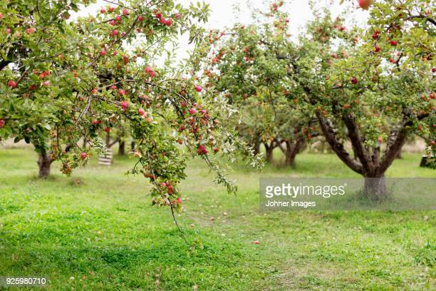 apples on trees in orchard - apfelbaum stock-fotos und bilder