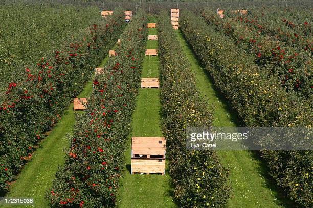 Apples - orchard # 13