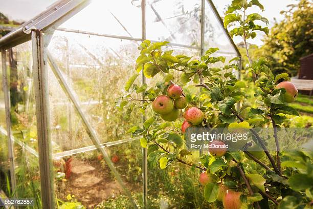 Apples outside a greenhouse