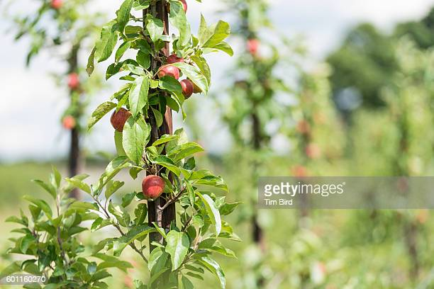 Apples ripening in orchard