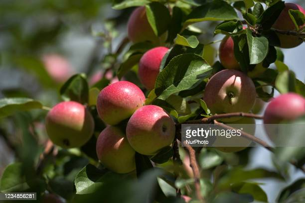 Apples ripening on a tree. On Tuesday, 23 August 2021, in Edmonton, Alberta, Canada.