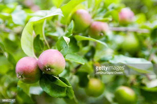 apples ripening on branch - unripe stock pictures, royalty-free photos & images