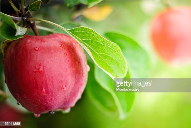 apples with water dripping on them - appelboom stockfoto's en -beelden