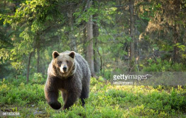 approach - bear stock pictures, royalty-free photos & images