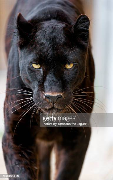 Approaching black leopard