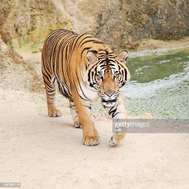 Approaching Full grown Bengal Tiger