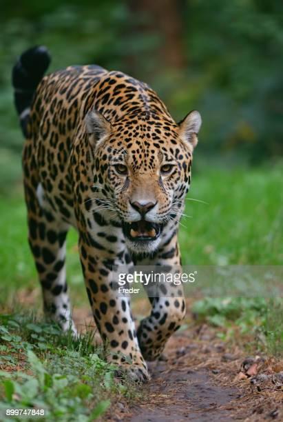 se aproximando jaguar - onça-pintada - fotografias e filmes do acervo
