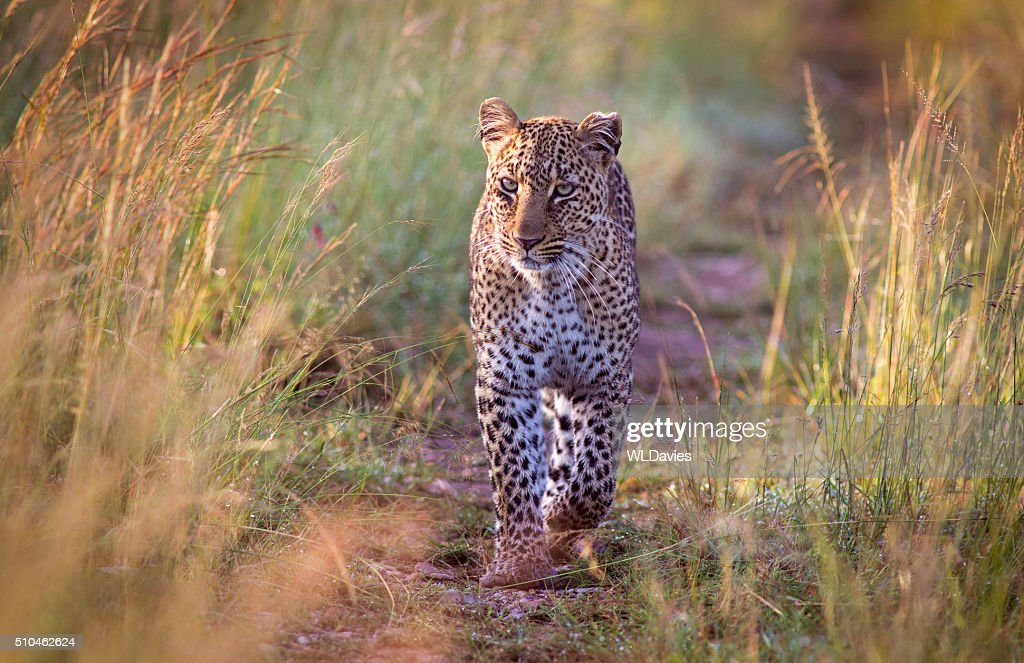 Approaching leopard : Stock Photo