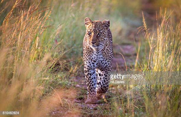 approaching leopard - leopard stock pictures, royalty-free photos & images