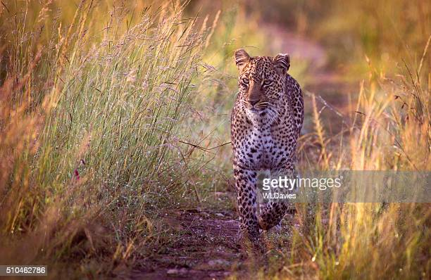 Approche de léopard