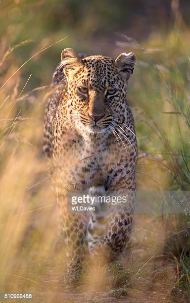 approaching leopard - leopard stock photos and pictures