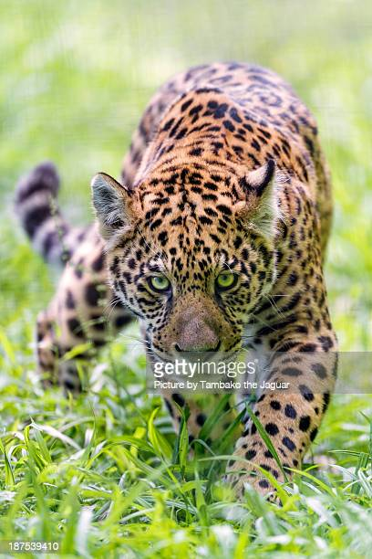 approaching serious jaguar - jaguar stock photos and pictures