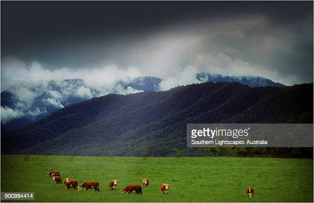 Approaching Storm near Mansfield while beef cattle graze, Victoria