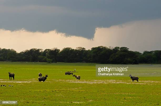 approaching storm - nilgai stock photos and pictures