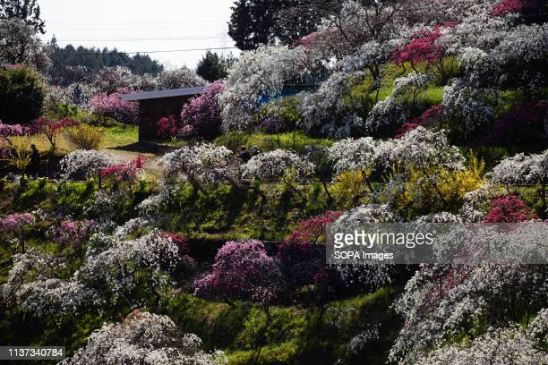 Approximately 3000 weeping peaches flourish in the Asahi District's Kaminakacho Toyota Aichi prefecture Japan The walking paths in the area are lined...