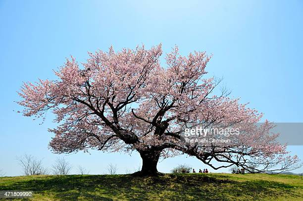 Approximately 300-year-old solo cherry blossom at the Kamegamori Bokuchi is in full bloom on April 30, 2015 in Miyako, Iwate, Japan.