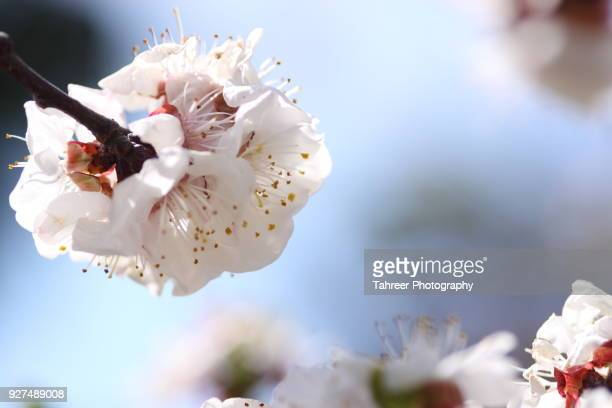 apricot blossom in spring season - peach blossom stock pictures, royalty-free photos & images