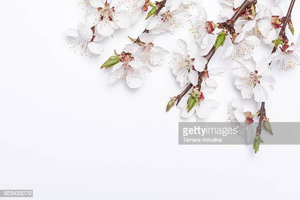 apricot blossom on white background early spring. - peach flower stockfoto's en -beelden