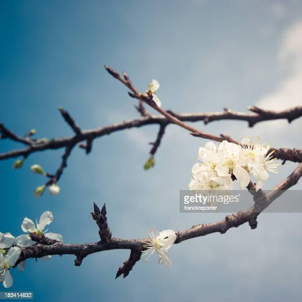 Fleur de fleurs abricot sur wild printemps