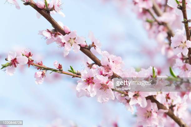 apricot blossoms - ian gwinn stock pictures, royalty-free photos & images