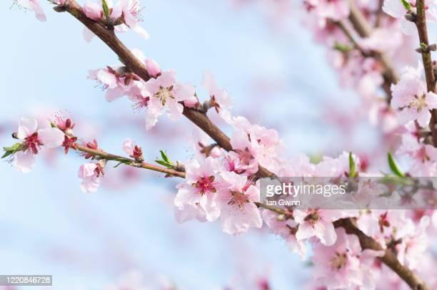 apricot blossoms - ian gwinn stockfoto's en -beelden
