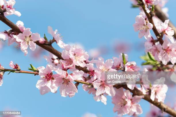 apricot blossoms_2 - ian gwinn stock pictures, royalty-free photos & images