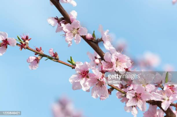 apricot blossoms_3 - ian gwinn stock pictures, royalty-free photos & images