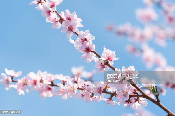 apricot blossoms_4 - ian gwinn stock pictures, royalty-free photos & images