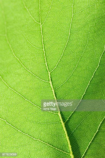 Apricot leaf close-up