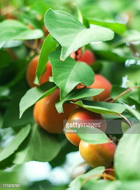 apricot - apricot tree stock pictures, royalty-free photos & images