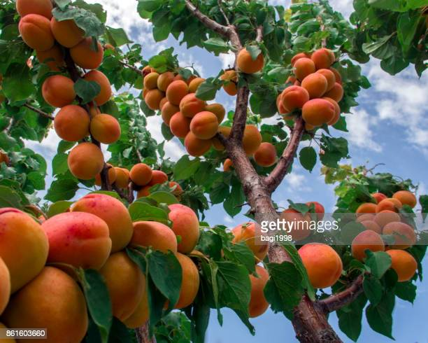 apricot tree and sky - fruit tree stock pictures, royalty-free photos & images