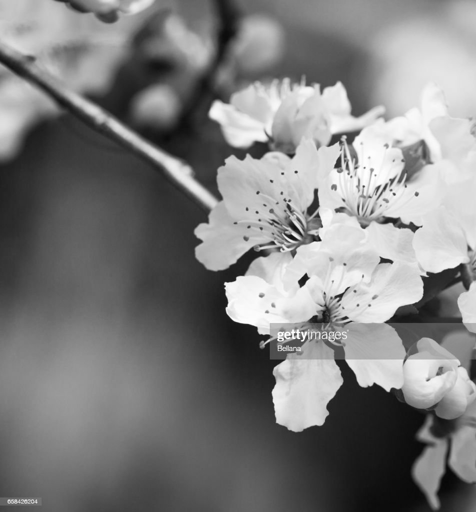 Apricot Tree Branch With White Flowers In Early Spring With Copy