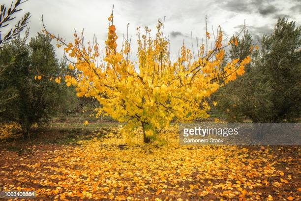 Apricot tree in autumn, front view, horizontal format