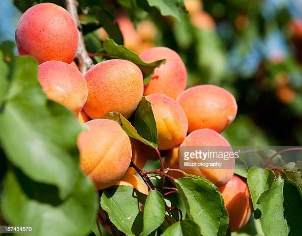 apricot tree in provence - apricot tree stock pictures, royalty-free photos & images