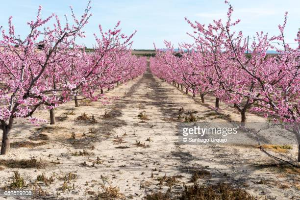 apricot tree orchard - apricot tree stock pictures, royalty-free photos & images