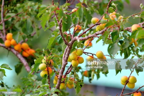 apricot tree with apricot fruit - apricot tree stock pictures, royalty-free photos & images
