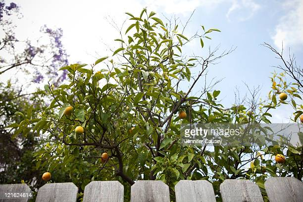 apricot tree with fence - apricot tree stock pictures, royalty-free photos & images