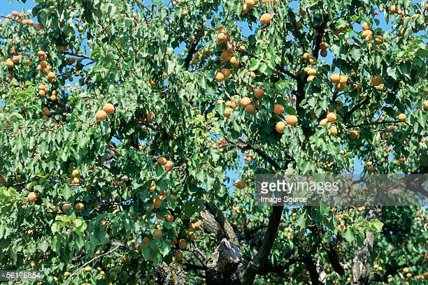 'Apricot trees in Oppede, Luberon'